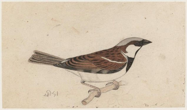 Sparrow  - Rajasthan, 19th Century