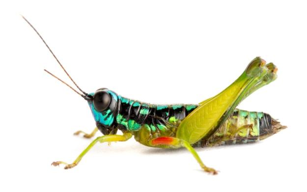 Grasshopper (Acrididae), Barbilla National Park, Costa Rica. Photo by Piotr Naskrecki/Minden Pictures/Corbis