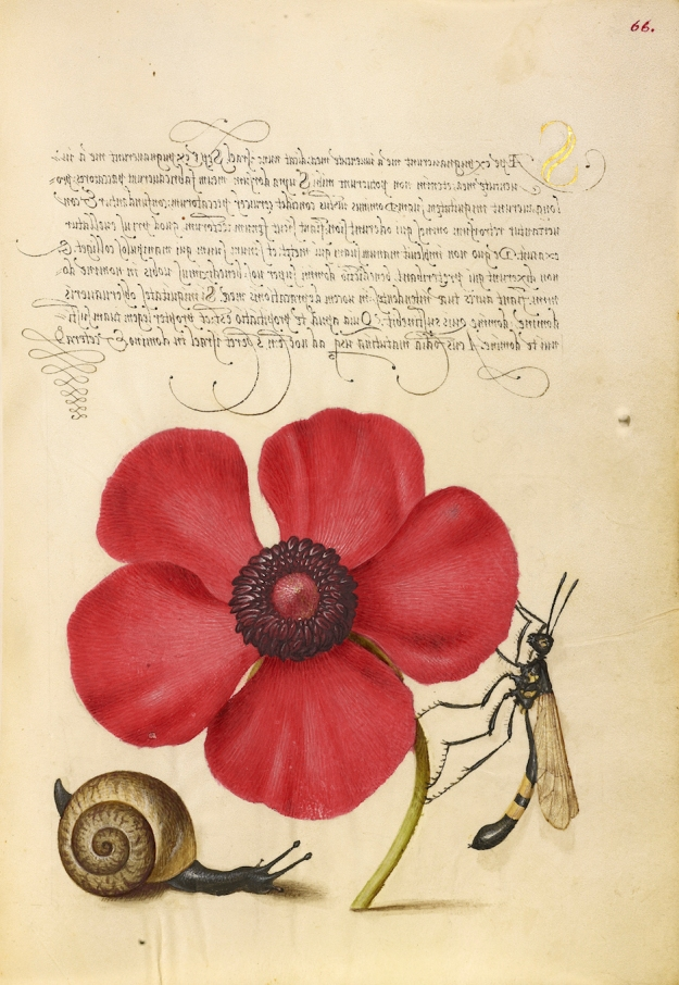 Terrestrial Mollusk, Poppy Anemone, and Crane Fly, Joris Hoefnagel, 1591-96; from George Bocskay, Mira Calligraphiae Monumenta in Annette Giesecke's The Mythology of Plants