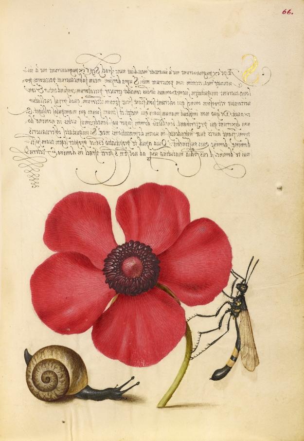 Terrestrial Mollusk, Poppy Anemone, and Crane Fly, Joris Hoefnagel, 1591-96; from George Bocskay, Mira Calligraphiae Monumenta in Annette Giesecke's The Mythology of Plants
