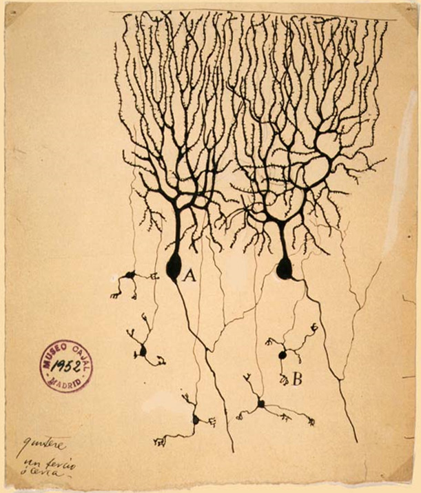 Purkinje Cells: Drawing by Santiago Ramón y Cajal (1899) of neurons in the pigeon cerebellum