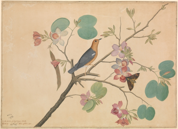 An Orange–Headed Ground Thrush and a Death's-Head Moth on an Orchid Branch, Shaikh Zain al–Din, 1778, India. Click image for larger view.
